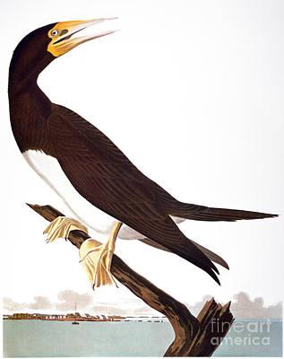 Audubon: Booby Poster