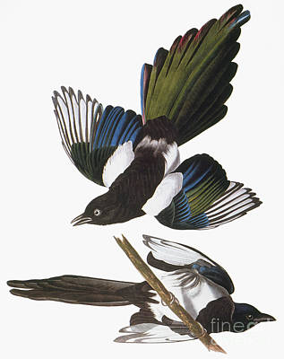 Audubon: Magpie Poster by Granger