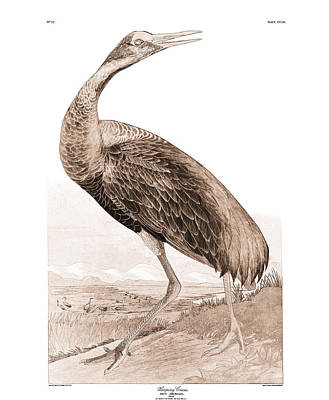 Audubon Sandhill Crane Vintage Art Poster