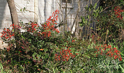 Poster featuring the photograph Austin Winter Berries by Linda Phelps