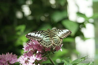 Asian Clipper Butterfly...   # Poster