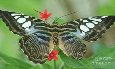 Australian Butterfly...   # Poster