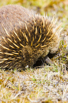 Australian Echidna Burrowing Up Ants Nest Poster
