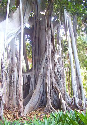 Australian Fig Tree Poster