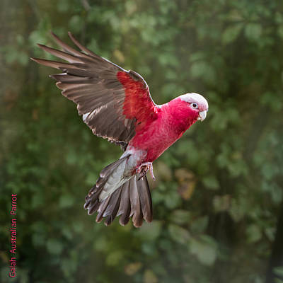 Australian Galah Parrot In Flight Poster