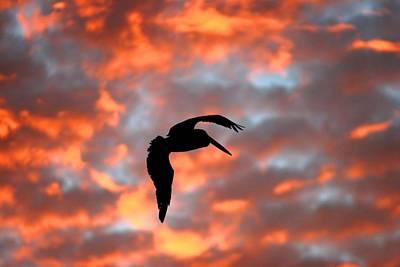 Australian Pelican Silhouette Poster