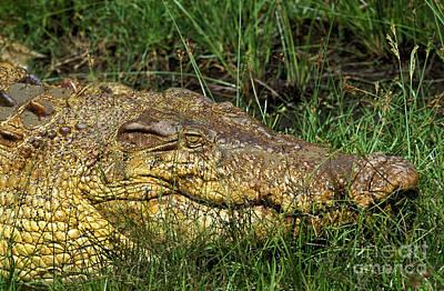 Australian Salwater Crocodile Poster