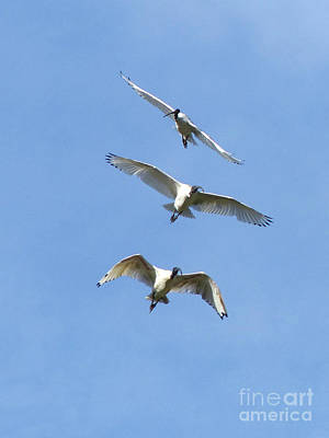 Australian White Ibis In Flight Poster by Phil Banks