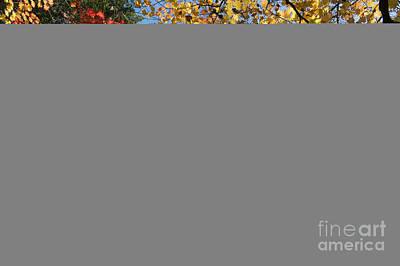 Autumn Acer Vitifolium Poster