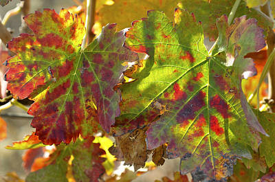 Poster featuring the photograph Autumn At Lachish Vineyards 2 by Dubi Roman