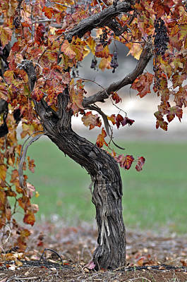 Poster featuring the photograph Autumn At Lachish Vineyards 3 by Dubi Roman