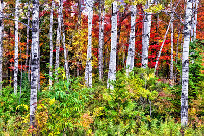 Autumn Birches Poster by Christopher Arndt