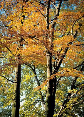 Autumn Blaze Maple Poster by Bekare Creative