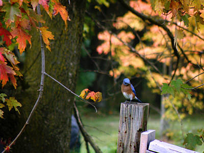 Autumn Blue Bird Poster