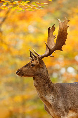 Autumn Buck Poster by Roeselien Raimond