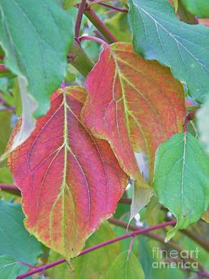 Autumn Bush Leaf Pair     Indiana    October Poster by Rory Cubel