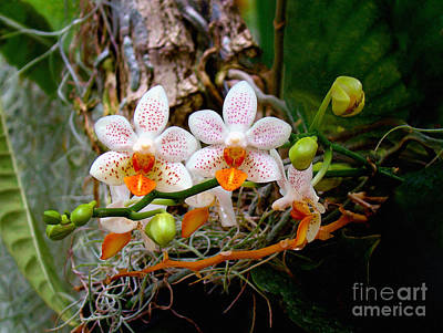 Autumn Colored Orchids Poster by Sue Melvin