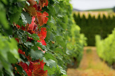 Autumn Comes To The Vineyard Poster