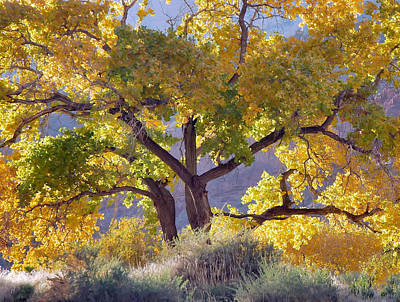Autumn Cottonwood - Zion Poster