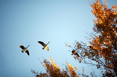 Autumn Geese Poster