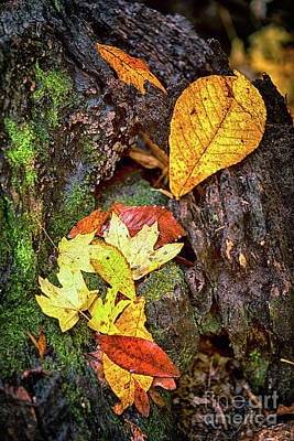 Autumn Leaves On Mossy Tree Trunk Poster by Dan Carmichael