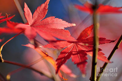 Autumn Maple Poster by Kaye Menner
