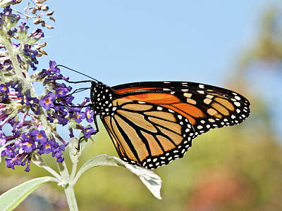 Poster featuring the photograph Autumn Monarch Butterfly 2016 by Lara Ellis