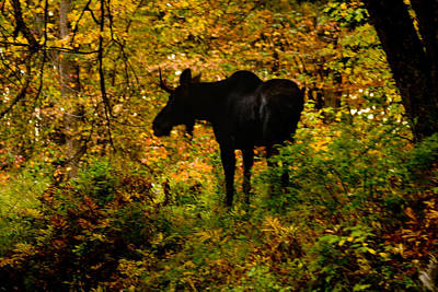 Autumn Moose Poster