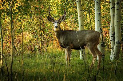 Autumn Mule Deer Poster by TL Mair