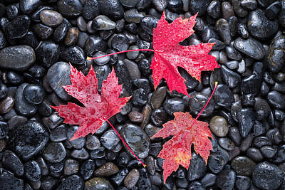 Autumn Red Maple Leaves Poster by Steve Gadomski