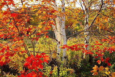 Autumn Scene With Red Leaves And White Birch Trees, Nova Scotia Poster