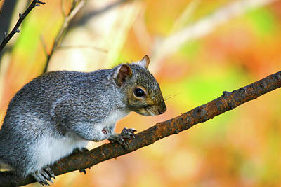 Poster featuring the photograph Autumn Squirrel by Karol Livote