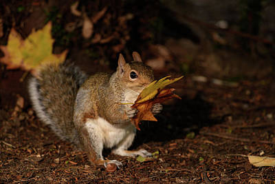 Autumn Squirrel Poster