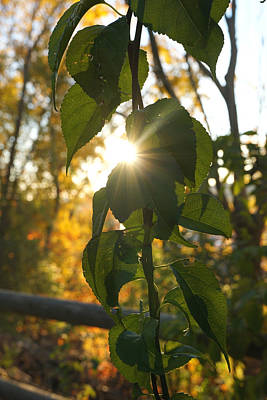 Autumn Sun Breaking Through The Leaves Poster by Lilia D