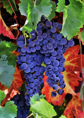 Autumn Vineyard Grapes Poster