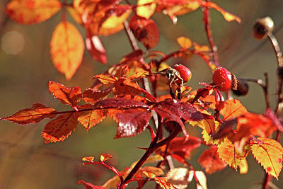 Autumn Wild Rose Hips Poster