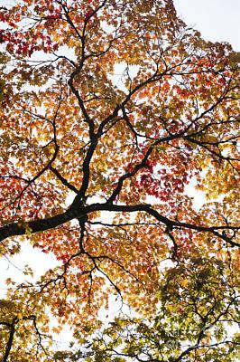 Autumnal Acer Palmatum Poster