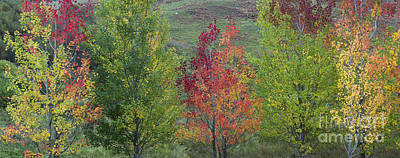 Autumnal Aspen Trees Panoramic Poster by Tim Gainey
