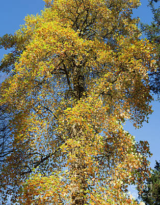 Autumnal Tulip Tree Poster by Tim Gainey