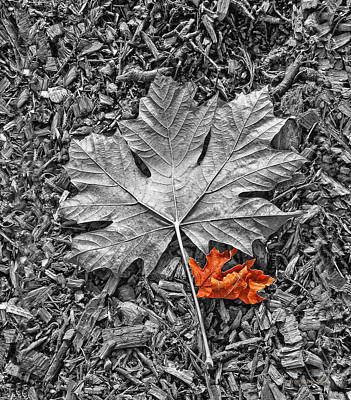 Autumn's Maple Leaf Selective Color Poster by Jennie Marie Schell