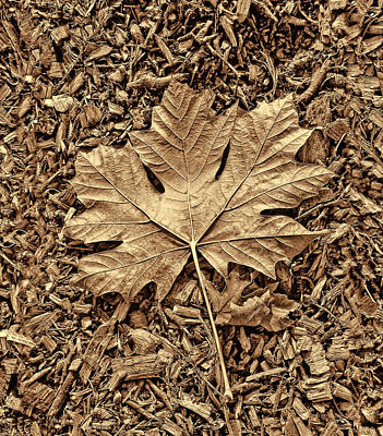 Autumn's Maple Leaf Sepia  Poster by Jennie Marie Schell