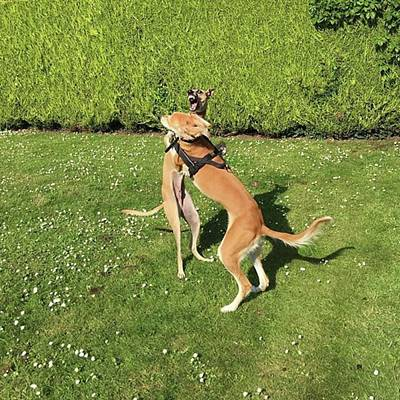 Ava The Saluki And Finly The Lurcher Poster