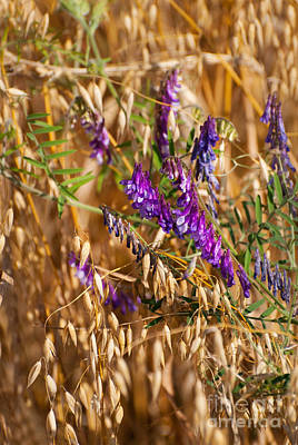 Avena Or Oats And Vicia Flowers Grow In Field  Poster by Arletta Cwalina