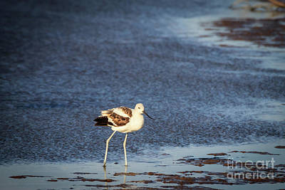 Avocet On The Shore Poster