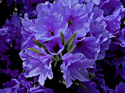 Azalea Pretty Posh Purple Poster by Trent Jackson