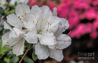 Poster featuring the photograph Azaleas In Turtle Creek by Diana Mary Sharpton