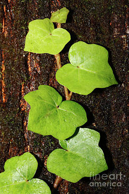 Azores Endemic Hedera Poster