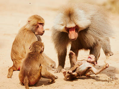 Baboon Family Having Fun In The Desert Poster by Nick  Biemans