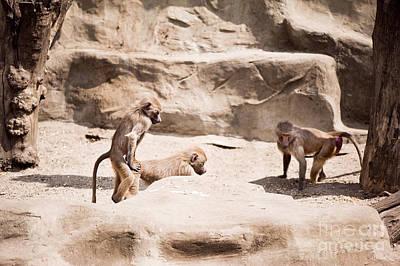 Baboons Monkeys Having Sex Poster