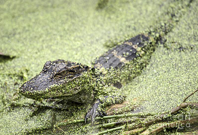 Baby Alligator Poster